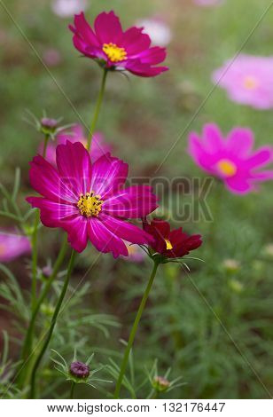 Purple cosmos daisy flowers in the garden