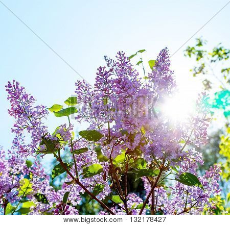 Blooming lilacs against bright sun bright sunny day blur focus