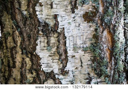 White bark and moss background. Birch bark background. Birch bark texture. Tree bark background. Bark background. Bark texture. Tree bark texture