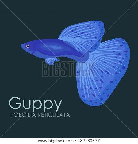 Aquarium fish Guppy, vector illustration isolated on dark background. Fish flat style vector illustration.
