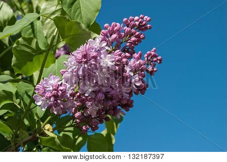 Lilac flowers against the blue sky on a bright sunny day.