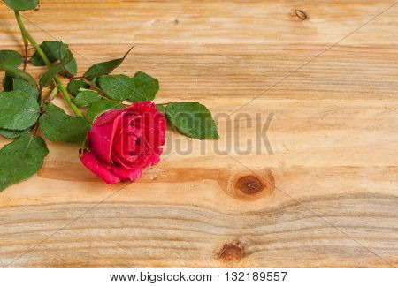 Red Rose Love friendship happiness affection romance copy space.