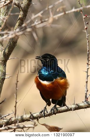 Superb Starling with ruffled chest feathers sitting on a branch