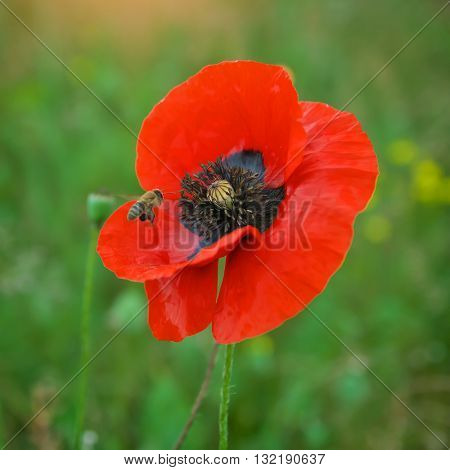 Bee and poppy flower. Nature composition.