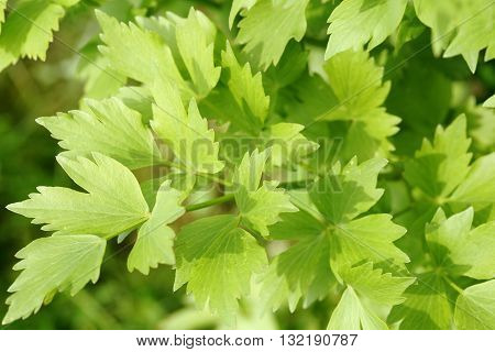 Lovage is a plant and herb seasoning.