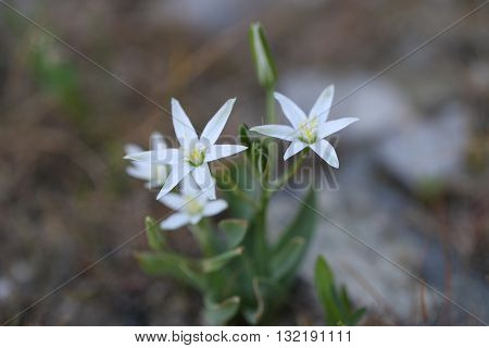 Beautiful wild flowers in forest. White flowers, close up.