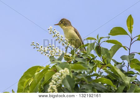 A singing melodious warbler on a shrub
