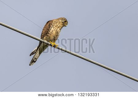 A common krestel on a powerline looks for prey