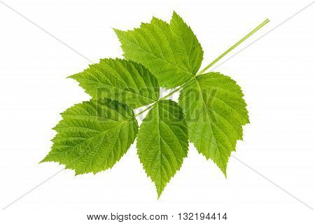 Fresh green leaf raspberry isolated on a white background. Raspberry leaves closeup.