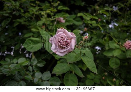 charming rose twine unusual lilac on a background of green leaves
