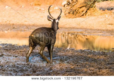 Sambar Deer with erected penis playing with mud for sexual satisfaction
