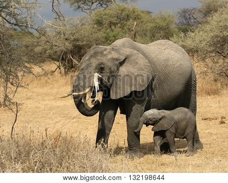 A mother African Elephant feeds while her newborn baby stands protected next to her.