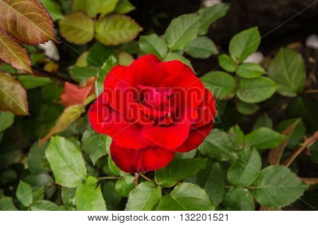 beautiful flower red rose after a rain on a background of green leaves