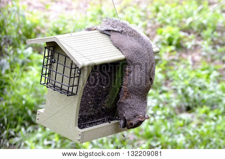 A squirrel eating seeds in a bird feeder