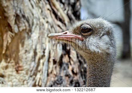 this is a close up of an ostrich