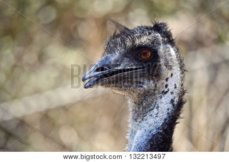 this is a close up of an Australian emu