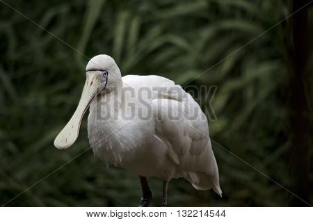 the yellow-billed spoonbill is standing on a tree branch