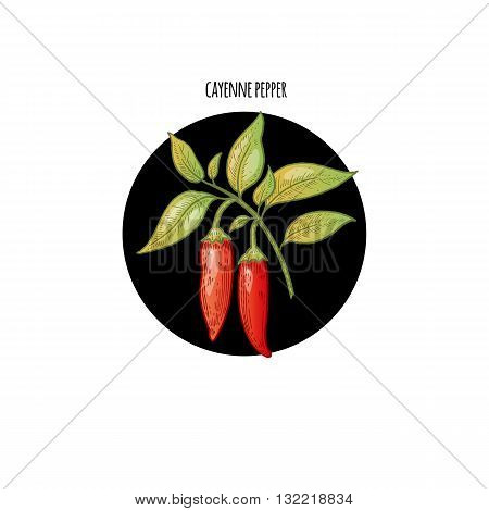 Vector color plant Cayenne pepper in black circle on white background. Concept of graphic image of medical plants herbs flowers fruits roots. Design for package of health beauty natural products.