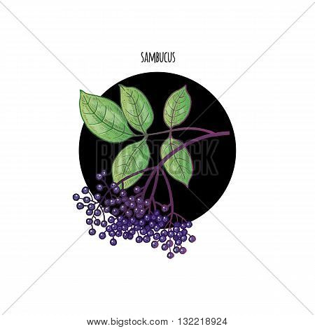 Vector color plant Sambucus nigra in black circle on white background. The concept of graphic image of medical plants herbs flowers fruits. Design for package of health beauty natural products.