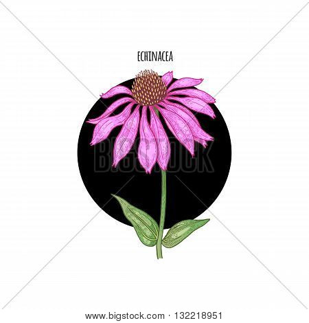 Vector color plant Echinacea in black circle on white background. The concept of graphic image of medical plants herbs flowers fruits. Design for package of health beauty natural products.