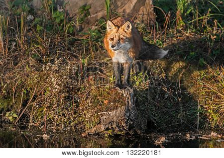 Red Fox (Vulpes vulpes) Looks Out - captive animal