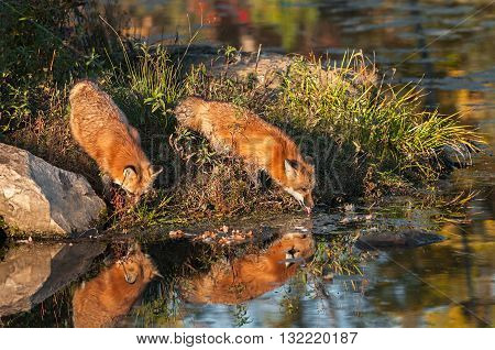 Red Fox (Vulpes vulpes) Takes a Drink - captive animals