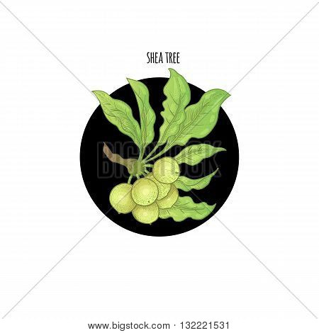 Vector color plant Shea tree in black circle on white background. Concept of graphic image of medical plants herbs flowers fruits roots. Design for package of health beauty natural products.