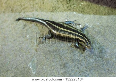 Rainbow mabuya (Trachylepis margaritifera), also known as the rainbow skink. Wildlife animal.