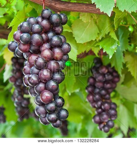 close up of ripening grape clusters on the vine
