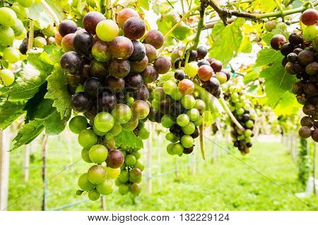 ripening black grapes in vineyard before harvest
