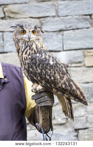 Eurasian Eagle-owl On The Hand Of A Falconer