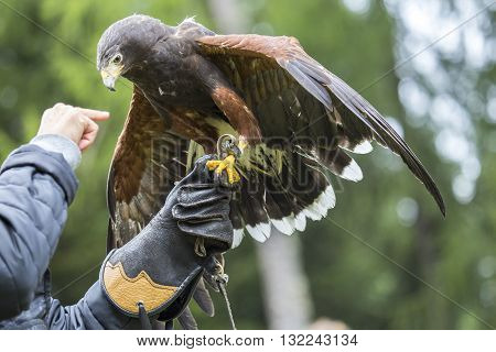 Falconer With A Harris's Hawk On The Arm