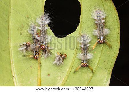 Rose Myrtle Lappet Moth (Trabala vishnou) caterpillars