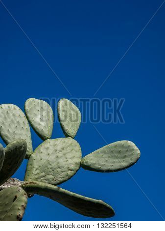Large cactus with the background of a clear blue sky, Canary Islands, Spain