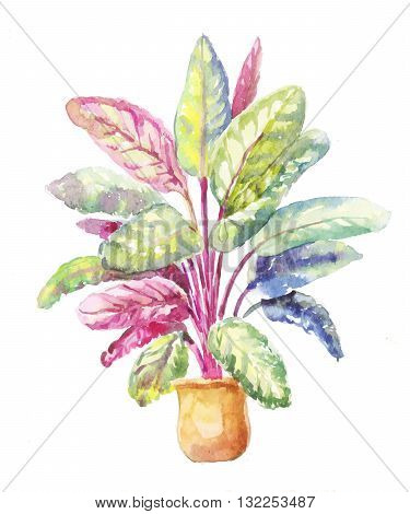 Potted plant of Calathea makoyana isolated on a white background. Calathea illustration in watercolor. Calathea sketch in a pot