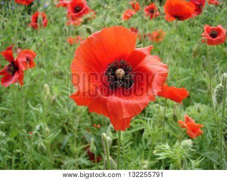 Red poppy flowers and poppy buds .