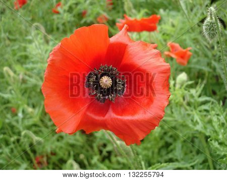 Red poppy flower and poppy bud .