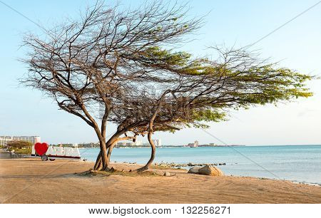 Divi divi tree on Aruba island in the Caribbean Sea