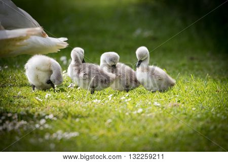 Four cygnets on edge of lake preening in the sunshine