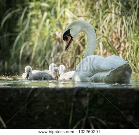 Four cygnets swimming with adult swan keeping watch at lock edge