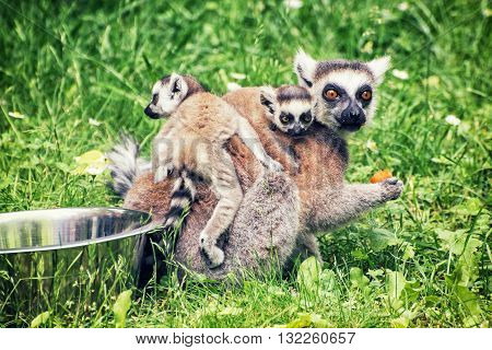 Ring-tailed lemur - Lemur catta - with cubs are fed from the bowl. Animal scene. Animals in captivity. Beauty in nature.