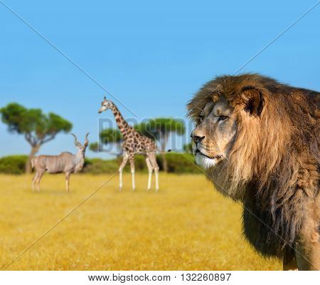 Big lion on savannah. Giraffe with Kudu in the background.