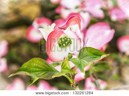 Cornus florida - Flowering dogwood - is a species of flowering plant in the family Cornaceae native to eastern North America and northern Mexico. Flowering tree. Blooming twig. Macro photo.
