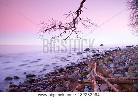 Romantic Sunset Time. Lonely Fallen  Tree On Empty  Stony Coastline.  Death Tree With  Branches In W