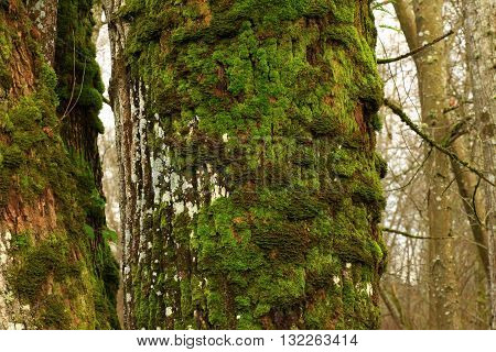 a picture of an exterior Pacific Northwest old growth big leaf maple tree trunk with moss