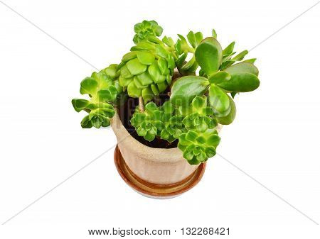 Green succulent plant sempervivum and Crassula isolated on white background