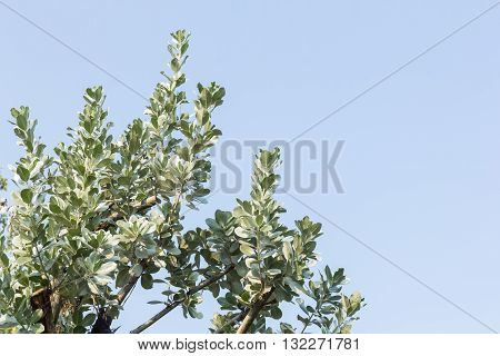leaves of silver buttonwood on blue sky background