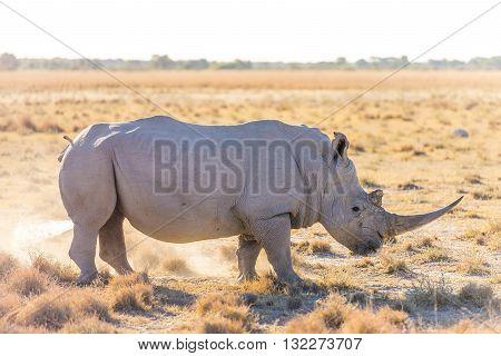 White Rhino Marking Territory