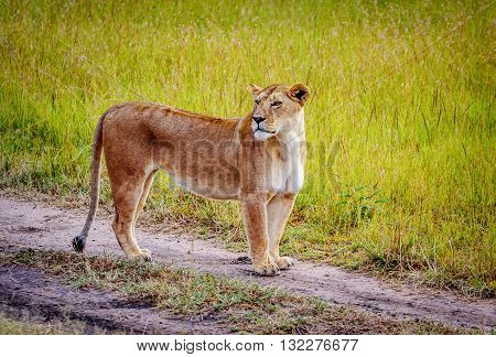 Lioness standing on the dirt road in Kenya Africa