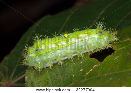 Stinging Slug Caterpillar from Kinabalu National Park.